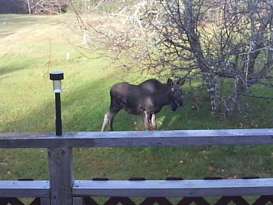 Moose-550